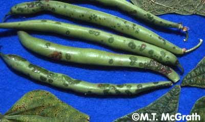 infected bean pods